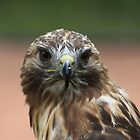 "Red-Tailed Hawk - ""Amanda"" by Alyce Taylor"
