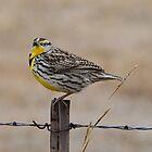Western Meadowlark by Linda Trine