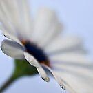 Softest daisy by Celeste Mookherjee