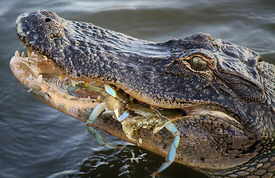 Alligator Catches Two Crabs on One Try by Paulette1021