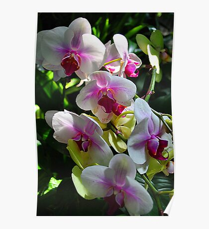 Orchids Poster