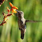 Hummingbird eating by loiteke