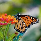 Monarchs Love Lantana by GardenJoy