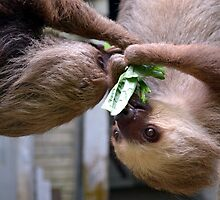 Two Toed Sloth Twins by Sauropod8