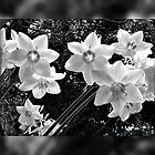 B&W Amazon Lilly's by Burnie