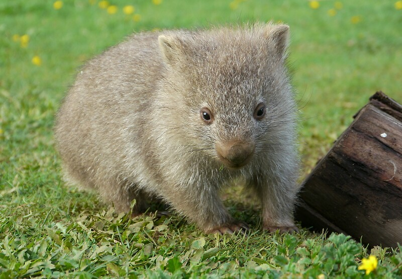 """""""Little cute wombat"""" by CWPhotos - 137.8KB"""