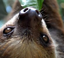 Close Up Two Toed Sloth by Sauropod8