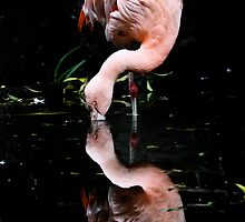 Chilean Flamingo by Cindy McDonald