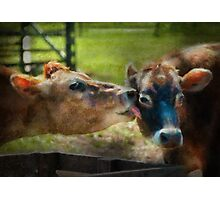 Animal - Cow - Let mommy clean that Photographic Print