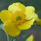 Meadow Buttercup - Ranunculus acris  by Tracy Wazny