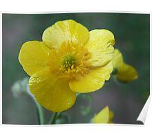 Meadow Buttercup - Ranunculus acris  Poster