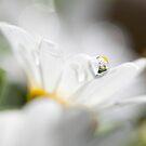 White Daisy Dream by Melinda Gaal