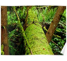 Moss Covered Trees Lying On The Forest Floor    Poster