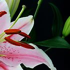 Stunning pink and white lily by SunshineSong