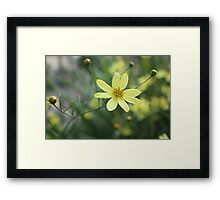 Yellow flower in English garden. Framed Print