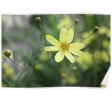 Yellow flower in English garden. Poster