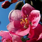 The Pink of Perfection-Flowering Crabapple by Nicole DeFord