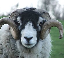 Swaledale Tup by Andrew Wightman