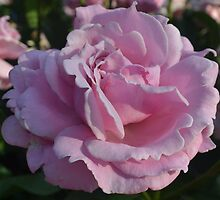 Pink Rose by Eileen Brymer