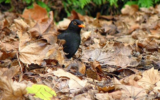 Did you Knock? - Blackbird - Gore NZ by AndreaEL