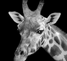 Giraffe, Black And White by Linsey Williams
