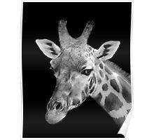 Giraffe, Black And White Poster