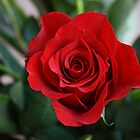 Deep red rose by SunshineSong