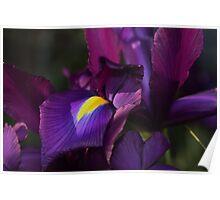 Dutch Irises Poster
