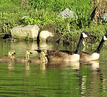 Family swim: Canada geese by hummingbirds