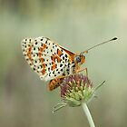 Spotted Fritillary by marens
