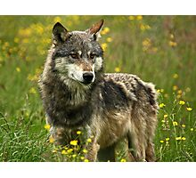 Wolf in Springtime Photographic Print