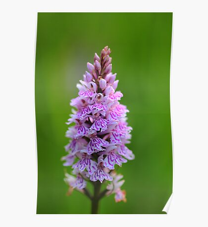 SPOTTED ORCHID (4) Poster