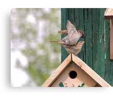 House Sparrows mating Canvas Print