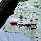 Bush Lily by Jason Dymock Photography