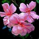 Geranium - delicate colours of nature....... by Roy  Massicks
