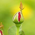 Rose Bud by kellimays