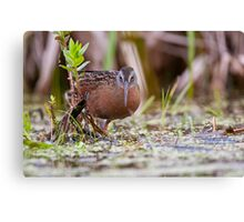 Virginia Rail Canvas Print