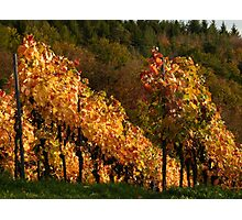 Autumn At The Vineyard Photographic Print