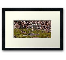 Bearded Goats in the Upper Elk Mountains Framed Print