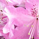 Rhododendron by bruxeldesign