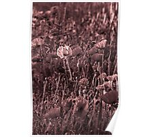 Poppies - but not as you know them Poster