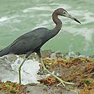 Little Blue Heron  by Robert Abraham