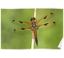 Splendid Wing Pattern Poster