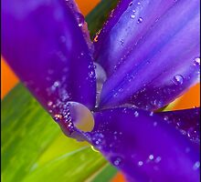 Iris Abstract by Barrie Kent