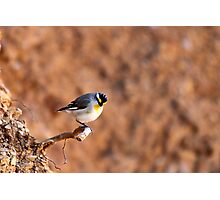 Striated Pardalote by Linda Sass Photographic Print