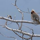 Bohemian Waxwing by Marty Samis