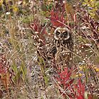 Short-eared Owl by Marty Samis