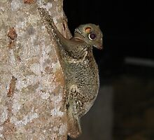 Colugo by beeday78