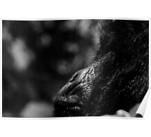 Female Mountain Gorilla Poster