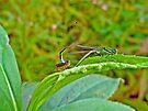 Eastern Forktail Damselflies - Ischnura verticalis - Love on a Leaf by MotherNature